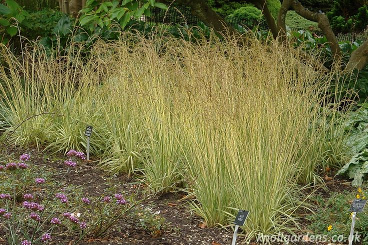 782 Best Images About An Ornamental Grasses On Pinterest
