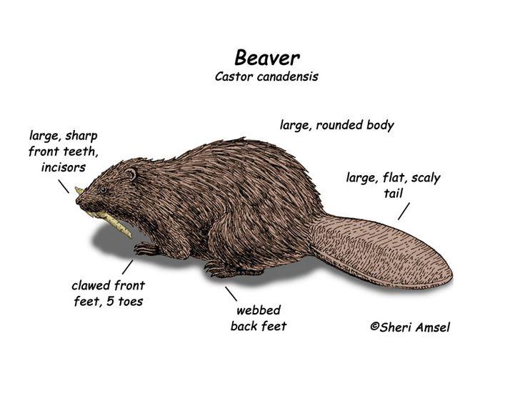 17 best ideas about beavers on pinterest contemporary for Castor habitat