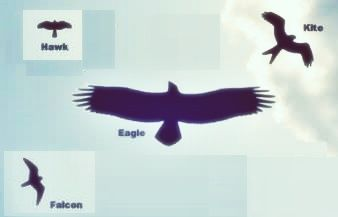 Birds: What's are the differences between hawks, falcons, eagles, osprey and kites? - Quora