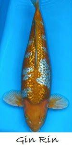 Live Koi Fish for Sale in Cebu , Goldfish for Sale in Cebu: Gin Rin