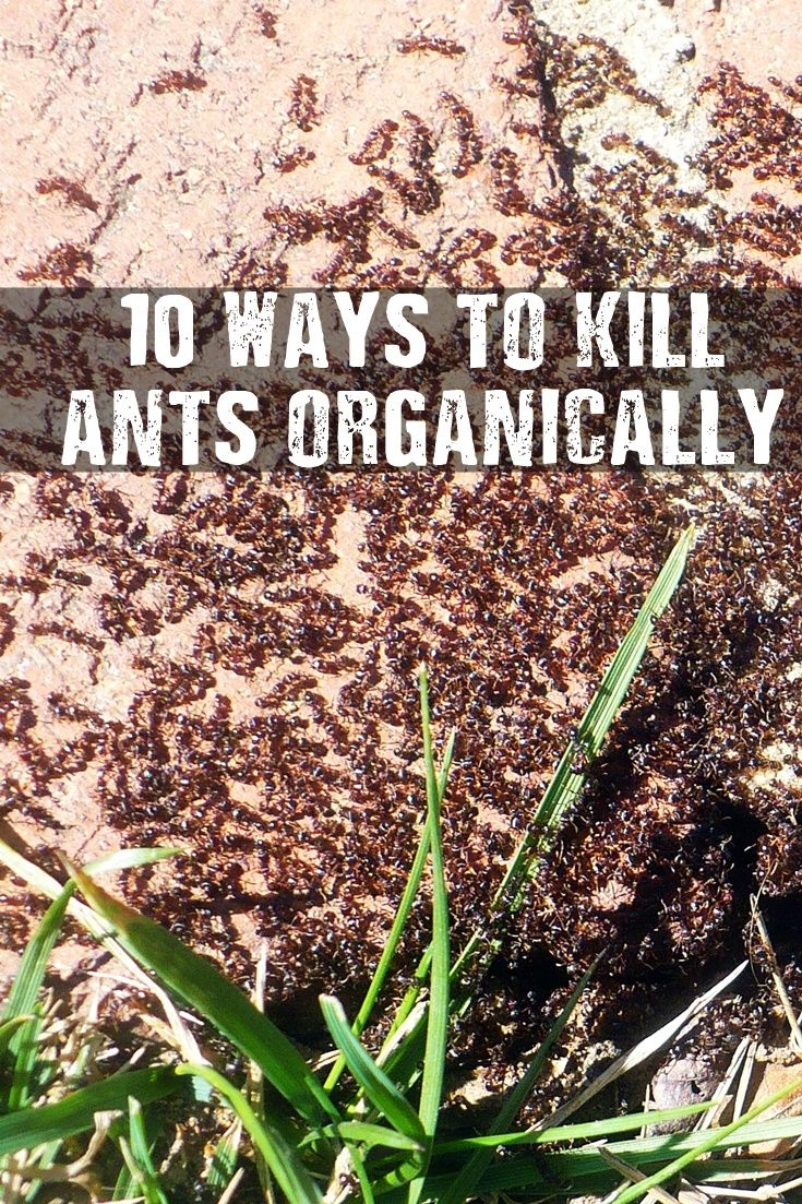 10 Ways To Kill Ants Organically - Many of us want to get rid of those pesky ants, but do it the safe way, organically. These methods should save you time and some money as they can be done using regular household items you may already have on hand.