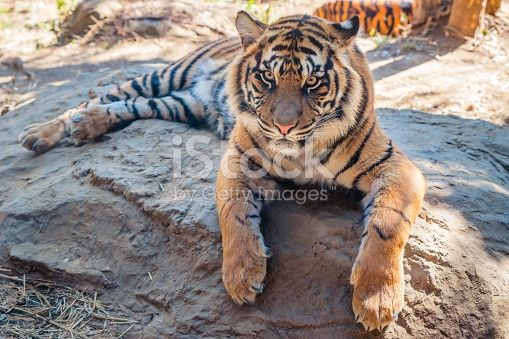 Edit Image #85985089: Tiger - iStock