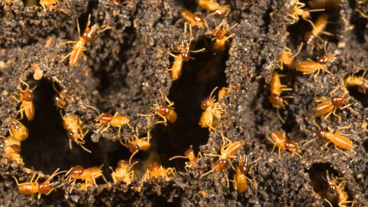 35 Best Bug Facts And Sites Images On Pinterest Facts Pest Control And Bugs