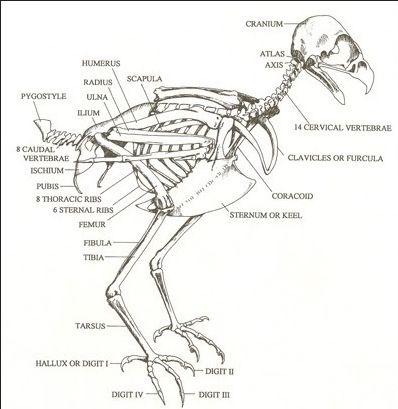 bird bone structure diagram volkswagen amp meter wiring skeleton | wings pinterest red tailed hawk, skeletons and animal anatomy