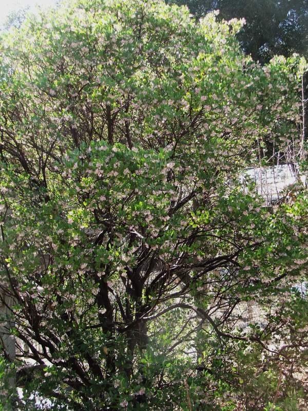 Austin griffiths manzanita makes a small specimen tree for Zen garden trees