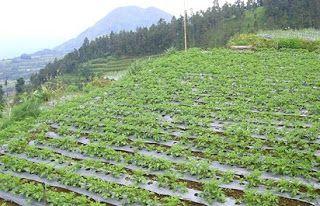 bunga raflesia arnoldi adalah flora khas dari daerah,hortikultura adalah jenis tanaman yang berupa,pegunungan tawangmangu terletak di,pertanian hortikultura banyak dikembangkan di daerah,