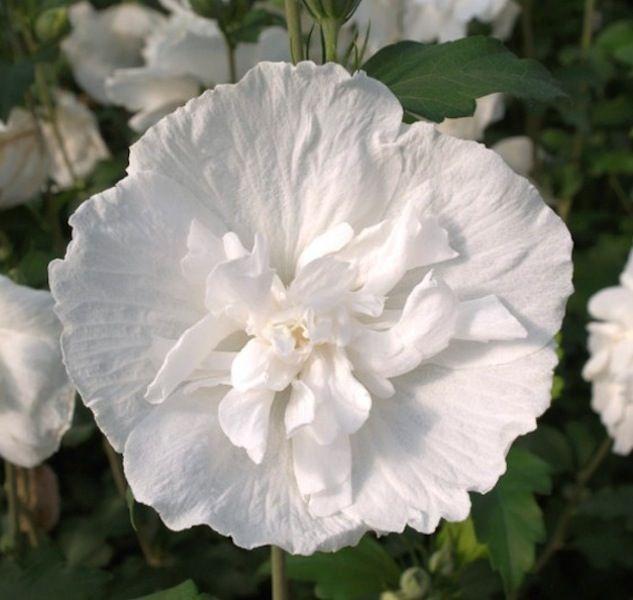 Hibiscus Syriacus Double White Rose Of Sharon Tree White