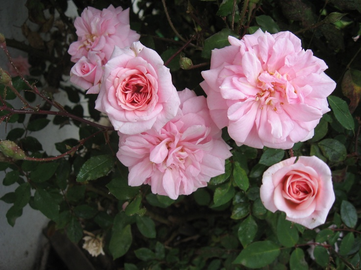 127 best My Roses images on Pinterest