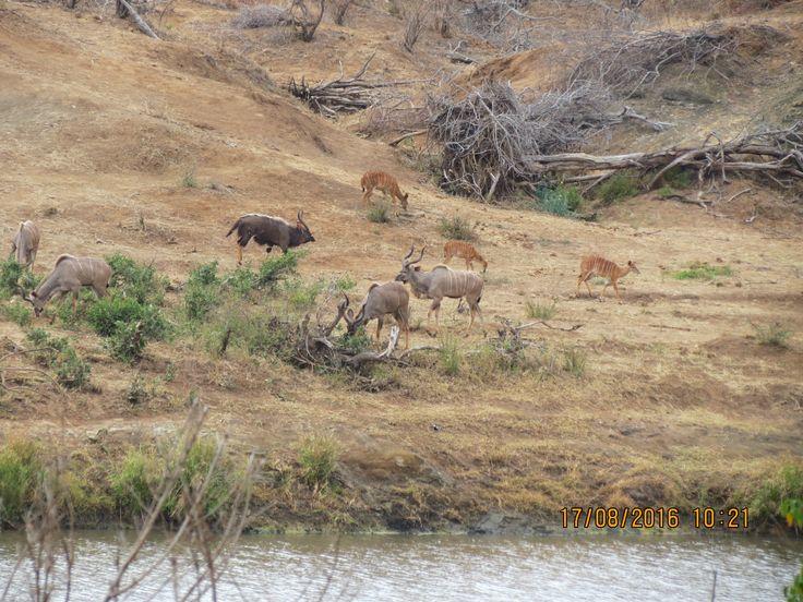 Nyala and Kudu Krugre 2016