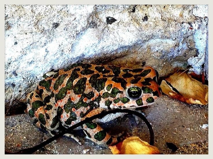 Creta camo frog