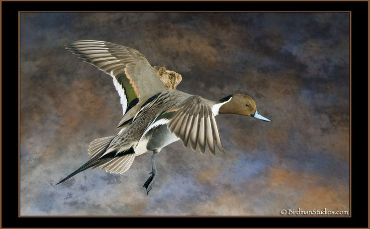 73 best images about Waterfowl, Pheasants and other Birds ...