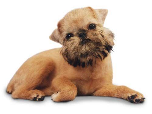 брюсельский грифон щенок