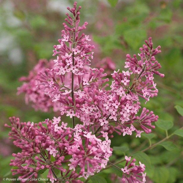 Syringa Bloomerang Pink Perfume - Lilas nain hybride remontant