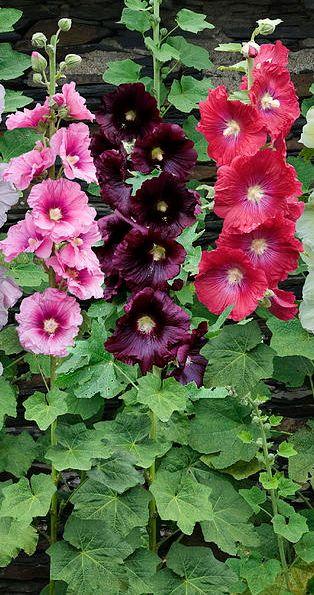 Hollyhocks - LOVE these flowers!