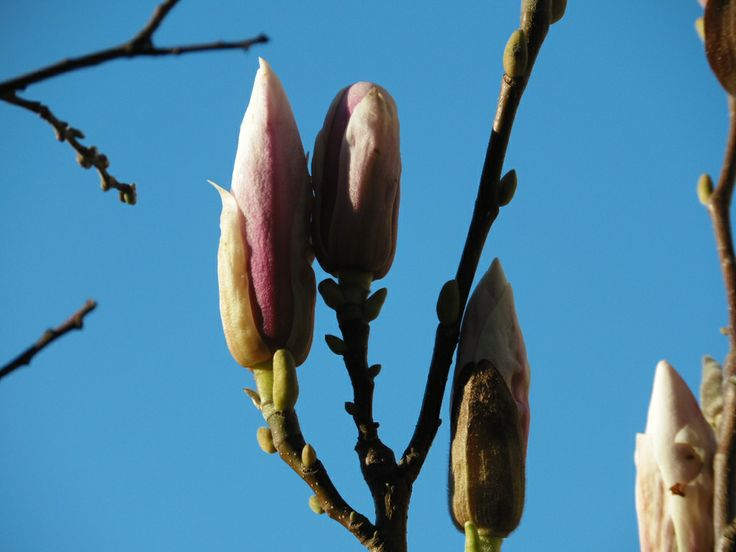 My Magnolium! Mi Magnolio en flor!