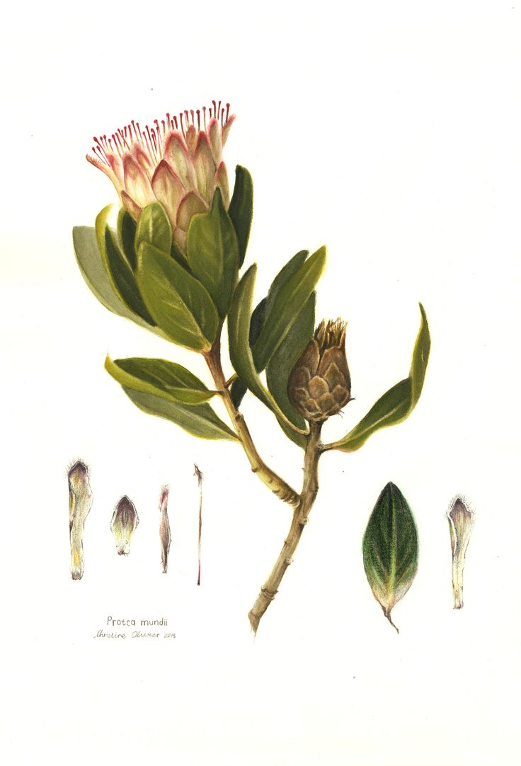 Watercolour illustration by PencilheartArt.  #Protea #painting #flower