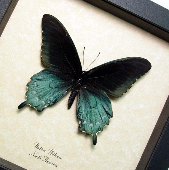 The Pipevine Swallowtail Real Framed by REALBUTTERFLYGIFTS on Etsy, $39.99