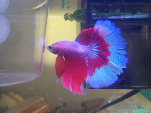 Rare Betta Fish | Is a halfmoon doubletail betta a rare type? - Yahoo!