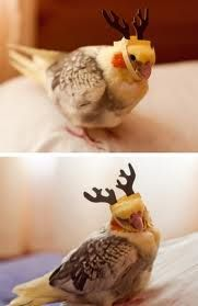 Reindeer Cockatiel! Too cute not to share!   ...........click here to find out…