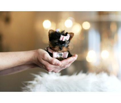 World's Tiniest Dogs for Sale | Worlds Tiniest Teacup Puppies Ever!!! Must See Our Puppies | Yorkshire ...