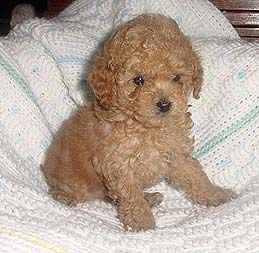Miniature poodle - These dogs are great for families with kids, but can be high strung.