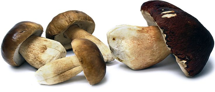Porcini mushrooms are an edible wild mushroom whose fruitbody can be described as having a dense, white stipe (stem) that will turn yellow-brown with age. It has a large cap that is pale to rust brown and continues to darken as it matures. At maturity the cap is three to ten inches broad and has a slightly sticky feel. The cap's underside contains tubes, rather than gills. Its flavor is nutty and slightly meaty, with a smooth, creamy texture. This mushroom emits a yeasty aroma reminiscent of…