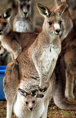 The Kangaroo is a common marsupial from the islands of Australia and New Guinea. Kangaroos can hop up to 40 miles per hour & go over 30 feet in one hop. When standing, roos often use their muscular tail as a extra leg. These shy animals live about 6 years in the wild and up to 20 in captivity. Most roos are nocturnal (active at night). An adult male is called a buck, boomer or jack; an adult female is called a doe, flyer, roo, or jill. A baby is called a joey. A group of roos is called a…