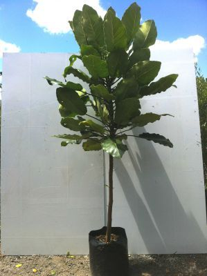New  Zealand Puka (Meryta Sinclairii) - Ideal tropical specimen.  Large leathery leaves.  Suits coastal areas.Grows 4mx3m.  - click here to close