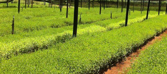 Die Stevia–Pflanze findet in Paraguay ideale Anbau Bedingungen und ist deshalb bekannt für ihre hohe Qualität. Bis heute ist Stevia Teil des paraguayanischen Erbes und Alltags. Traditionell wird der daraus gewonnene Süßstoff seit hunderten von Jahren bei der Zubereitung von Speisen und Getränken, wie z.B. Tereré eingesetzt.