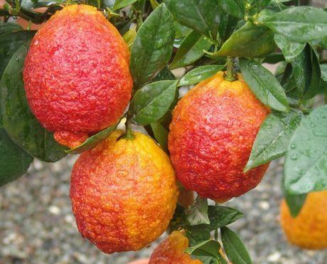 Red lemons