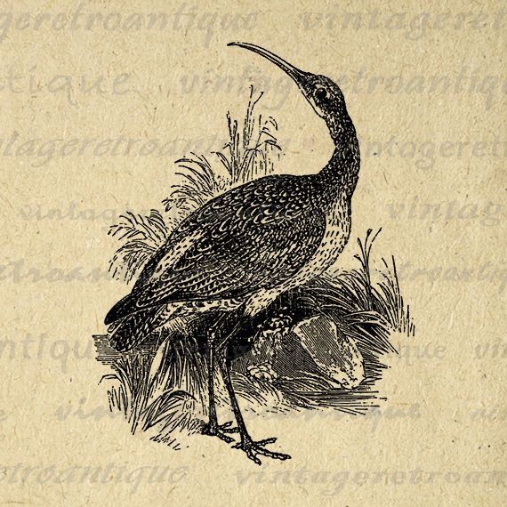 Printable Image Curlew Bird Download Graphic Illustrated