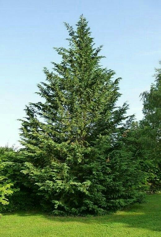 Leyland Cypress 60u0027 70u0027 Tall 10u0027 15u0027 Wide Evergreen No