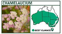 There are many new forms of Geraldton wax available, which are hardier than the species and vary in height, flower…