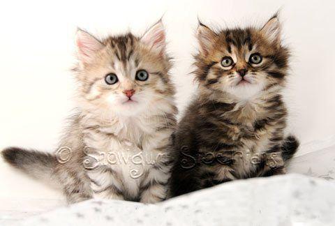 Snowgum Siberian Cats- Cat Allergies