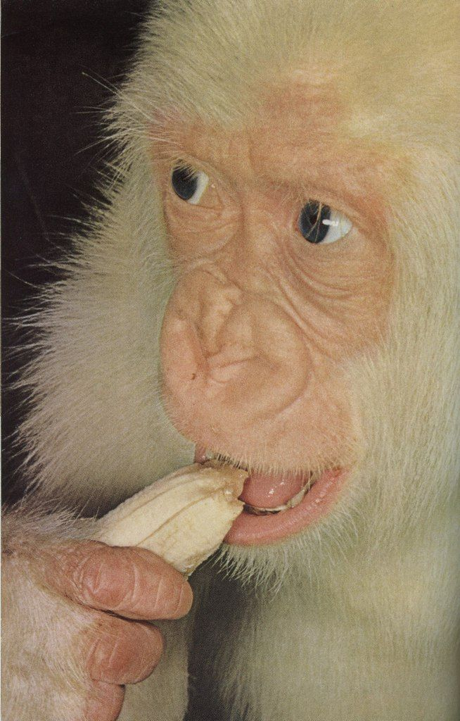 """""""Snowflake"""", the world's first white gorilla -National Geographic, March,1967... OLD CHUM"""