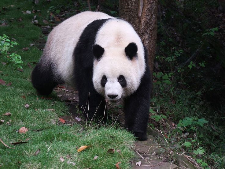 While highly endangered pandas like this big fella are the most famous and sought after to be seen, the Sichuan Giant Panda Sanctuaries in China are also home to other globally endangered animals such as the red panda, the snow leopard and the clouded leopard.