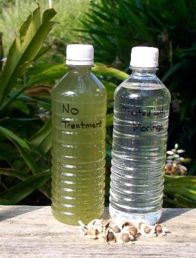 The dried seeds of the Moringa tree can purify unsafe water. By leaving the dried seeds in a bottle of unclean water overnight, between 90-95% of the bacteria can be purified. WOW!