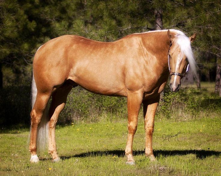 Look - American Palomino quarter horse pictures video