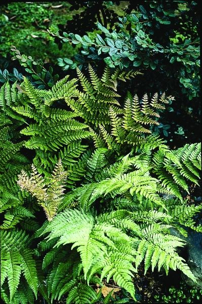 """Dryopteris purpurella (Giant Autumn Fern) - Zone: 5a to 9b, Ht 30"""", Part Sun to Shade, Origin: Japan, Just imagine an autumn fern on steroids. Dryopteris purpurella fronds can reach 3' or more. This easy-to-grow clumping fern is composed of arching dark green evergreen fronds which emerge bright cinnamon red in spring and summer. (#1085)"""