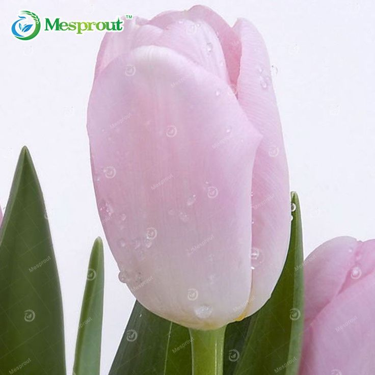 Perfume Tulip Seed Flower Bonsai Plant Pink Potted Perennial Home Garden 10 Pcs #MyLuckyHouse #Bonsai