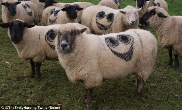 Not impressed: Hundreds of sheep have been branded with the mysterious 'smiley face' symbol at sites up and down the country, including these unimpressed-looking sheep in Exeter