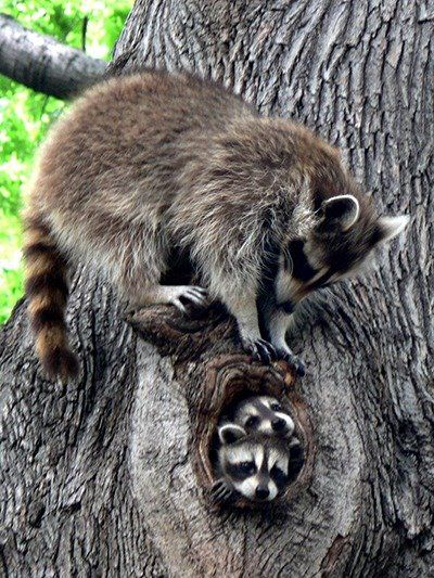 """Raccoons: """"The Family Residence."""""""