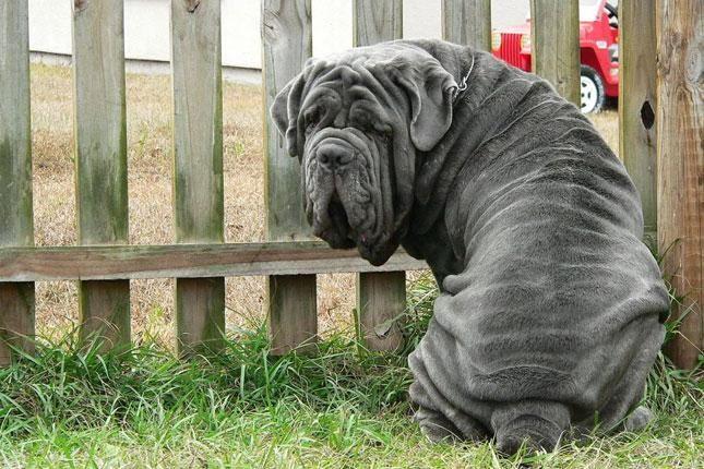 El Mastín Napolitano Uno De Los Perros Más Famosos Del Mundo Descubramos Más Sobre Este Moloso Car Razas De Perros Mastín Napolitano Razas De Perros Grandes