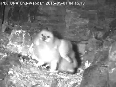 Live streaming eagle owlets..They are a whole lot of cute! 05/01/2015  Lotte with big rodent