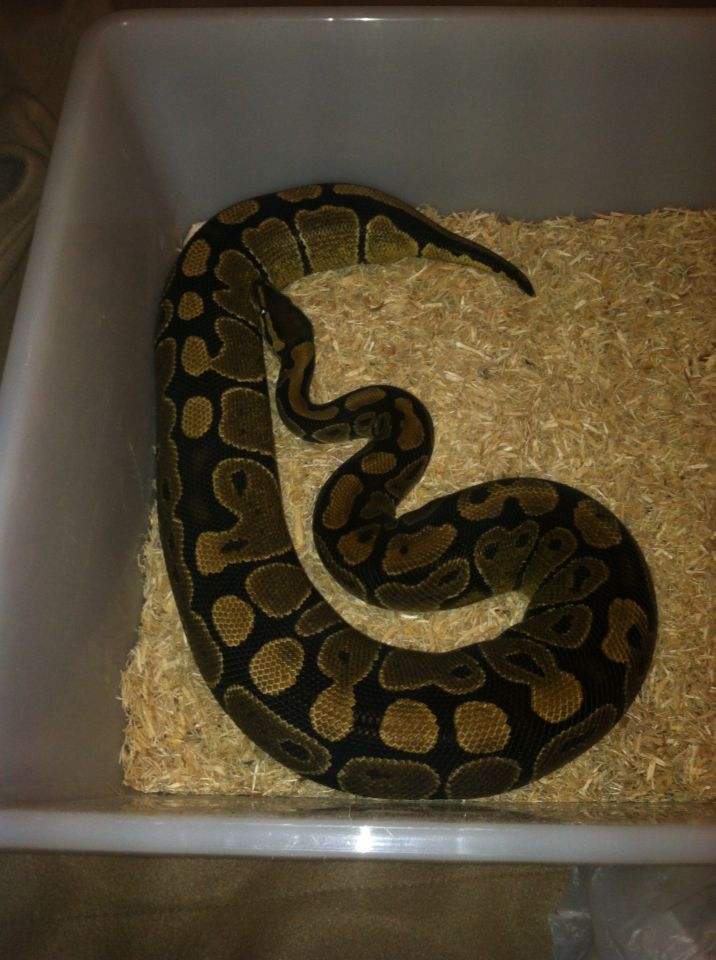 Ovulation! I bought this girl as a possible yellowbelly dinker female. Bred her to a pastave yellowbelly male. We will soon she what she holds ! I'm hoping for pastel ivorys and pastave ivorys!