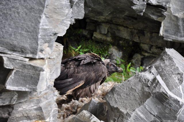 #Bartgeiernews: Heuer bereits der 2. Jungvogel geschlüpft | #Bartgeier #Bartgeiernachwuchs #Nationalpark #HoheTauern #Osttirol #Wiederansiedelung #Naturschutz
