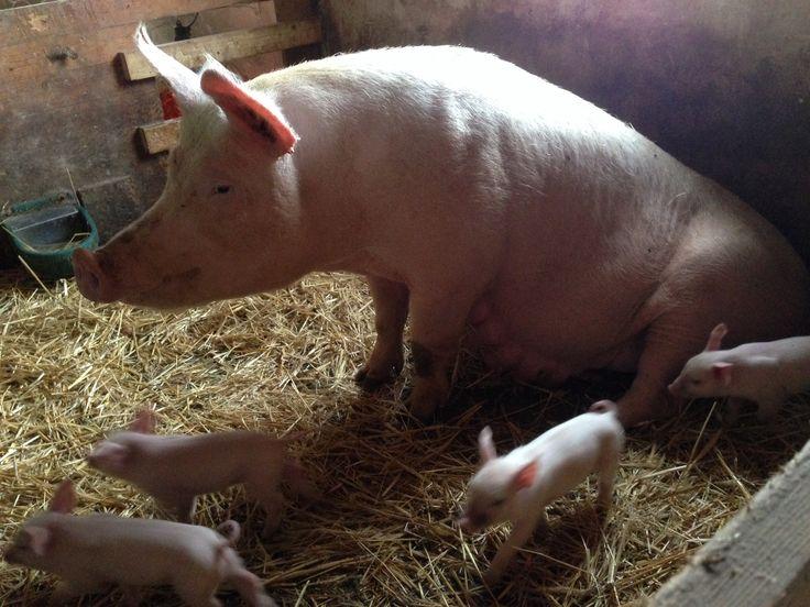 New born pigs ❤️
