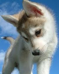 mini husky soo cute