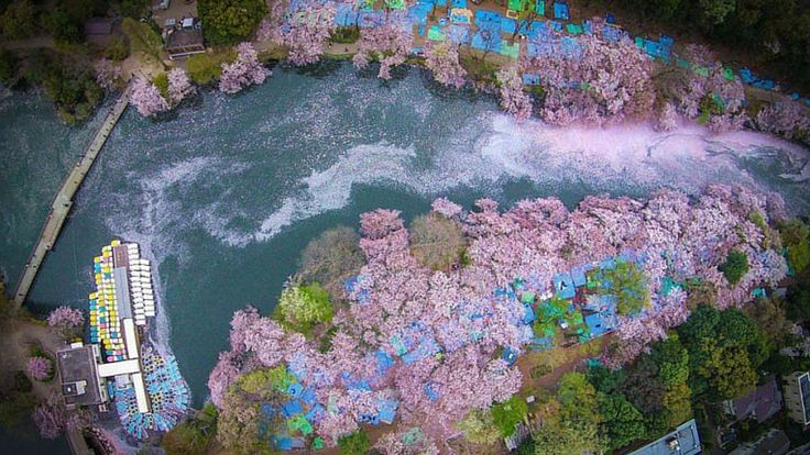 Cherry blossoms flooding this Tokyo lake will blow your mind | Intrepid Travel Blog
