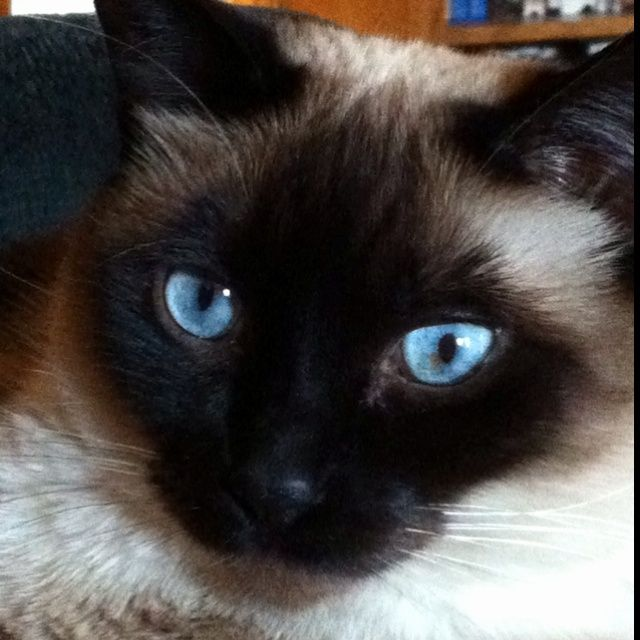 apple head siamese images | Apple-Head Siamese Cat
